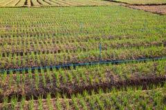 Green Shallot farm Stock Image