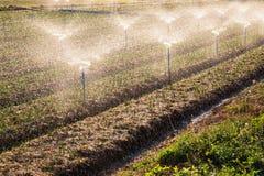 Green Shallot farm Stock Photos