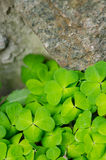 The Green shamrock Plant on a stone wall Stock Images