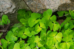 The Green shamrock Plant on a stone wall Stock Photo
