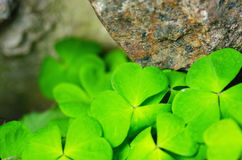 The Green shamrock Plant on a stone wall background Stock Image