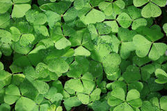 Green shamrock texture. With dew drops Stock Images