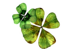 Green shamrocks Royalty Free Stock Images