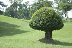 Green, shaped bush Stock Image