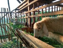 Sheep farms Royalty Free Stock Image