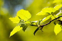Green sheet on a branch, Stock Photo