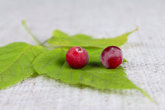 Green sheet with a two cowberry on linen napkin Stock Photography