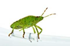 Green shield backed bug (Palomena prasina) Royalty Free Stock Photos