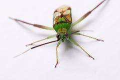 Green Shield Bug royalty free stock image
