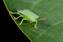 Green shield bug Stock Photos