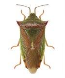 Green shield bug. (Palomena prasina) isolated royalty free stock photo