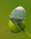 Green shield bug. The green shield bug (Palomena prasina. Pentatomidae) on a fruits of Guelder Rose royalty free stock photo