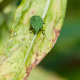 Green Shield Bug Royalty Free Stock Photos