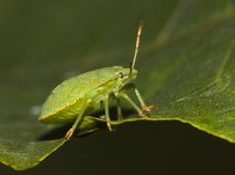 Green shield bug Stock Image