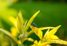 Green shield bug on Buddleja. Green shield bug (Palomena prasina) on a Buddleja leaf Royalty Free Stock Images