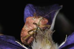 Green shield bug close-up. Portrait Stock Photos