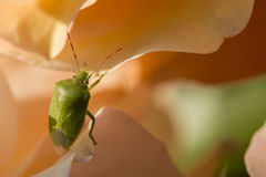 Green Shield bug on colorful roses Royalty Free Stock Image