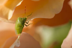 Green Shield bug on colorful roses Royalty Free Stock Images