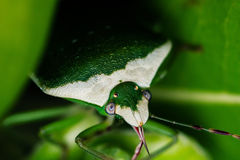 Green Shield Bug Stock Images