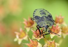 Green Shield Bug Royalty Free Stock Photography