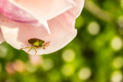The green shield bug on the flower of magnolia Royalty Free Stock Images