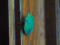 Green shield bug insect animal Stock Photo