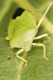 Green shield bug on leaf Royalty Free Stock Photos