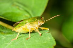 Green Shield bug Royalty Free Stock Image