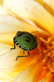 Green Shield Bug in the macro Stock Photo