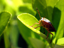 Green shield bug (Palomena prasina) Royalty Free Stock Photos
