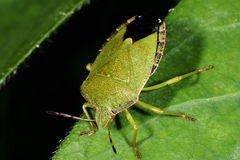 Green shield bug, palomena prasina Stock Images