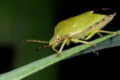 Green shield bug, palomena prasina Royalty Free Stock Photo