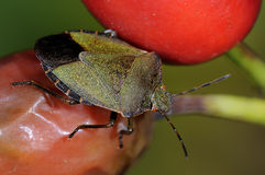 Green shield bug, palomena prasina Stock Image