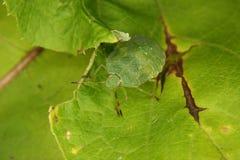Green shield bug (Palomena prasina) Royalty Free Stock Photos