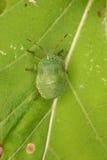 Green shield bug (Palomena prasina) Royalty Free Stock Image