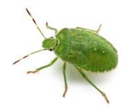 Green shield bug, Palomena prasina Royalty Free Stock Photography