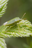 Green Shield bug  (Palomena prasina) Stock Image