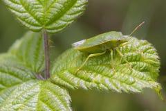 Green Shield bug  (Palomena prasina) Stock Photography