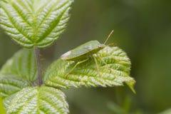 Green Shield bug  (Palomena prasina) Stock Images