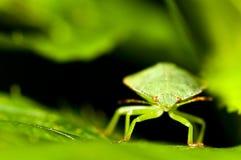 Green shield bug. Palomena prasina Stock Images