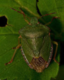 Green Shield Bug Palomena prasina Stock Image