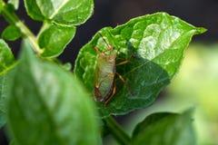 The green shield bug Stock Photos