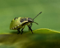 Green shield bug, Palomena prasina Royalty Free Stock Image