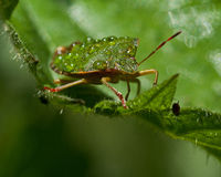 Green shield bug, Palomena prasina after the rain Royalty Free Stock Images