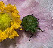 Green Shield Bug. On pink Japanese anemone flower Stock Photos