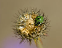 Green Shield Bug on Scabious Royalty Free Stock Images