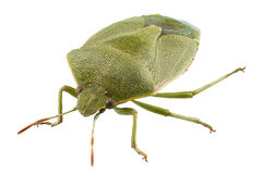 Green shield bug species Palomena prasina Royalty Free Stock Images