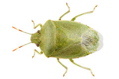Green shield bug species Palomena prasina Stock Image