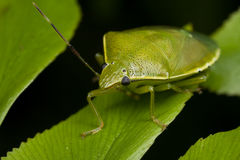 A green shield bug/stink bug Stock Photography