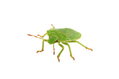 Green shield bug on a white background Royalty Free Stock Photo